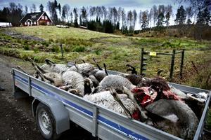 Vid en attack i Torphyttan väster om Lindesberg dödades tolv får under 2013.