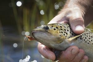 Öringfiske för husbehov bör inte förbjudas, menar Gunnar Heltzén.
