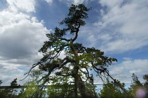 Länsstyrelsen har gett dispens till att borra i tallar på Hornslandets naturreservat.