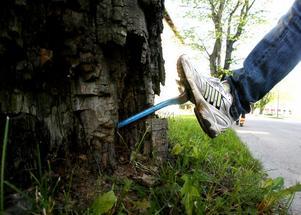 Om man kan köra in en halv kofot i ett träd, då vet man att det är dags att avverka.