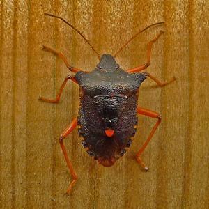 Rödbenat stinkfly heter denna bärfis. Det finns c:a 30 olika arter av bärfisar i Sverige. Denna fångade jag på en stolpe på vår terrass för någon vecka sedan. Jag har aldrig tidigare sett denna art, så det var klart intressant.