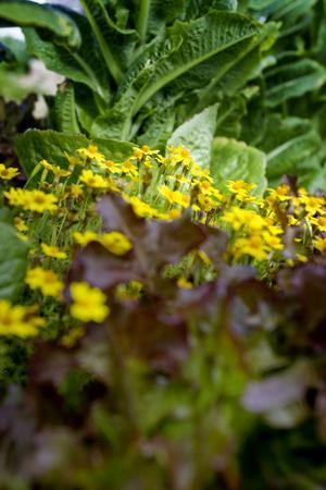 Kryddtagetes blommar i salladslandet.