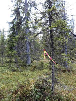Torråsens naturskog före avverkningen.