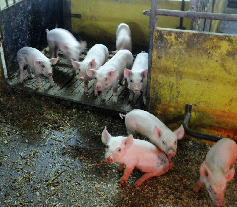 Dyrt att krocka med gris