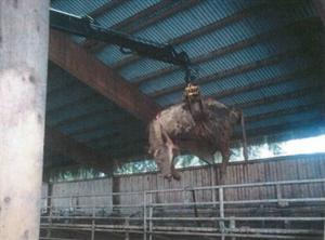 Kadaver från en ko som självdött och bärgats ut gödseln.
