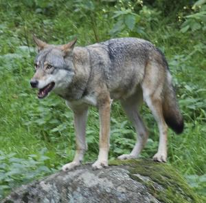 Länsstyrelsen Dalarnas beslut om skyddsjakt på en varg inom Gagnefs och Leksands kommun har överklagats.