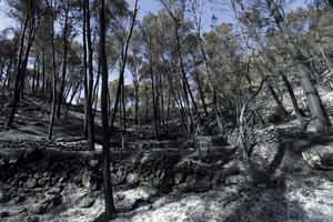 Nedbrunna träd i spåren av skogsbranden nära turistorten Estellencs på Mallorca.