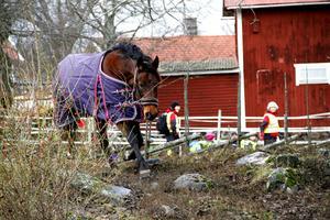 Lelle, en fantastiskt trevlig häst enligt Lasse Svensson, som har hand om hans nya stall.