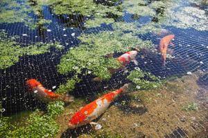 Först hade Wictoria och Peter Boije fiskarna i den stora dammen, men storskrakar upptäckte dem och flög iväg med favoritfisken.