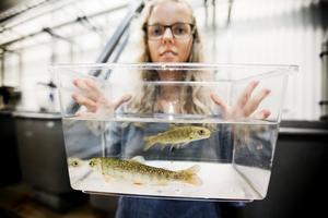 Forskaren Hanna Carlberg jobbar med att ta fram ett miljövänligt fiskfoder, som ska vara hållbart och kunna ge Krav-märkt röding.