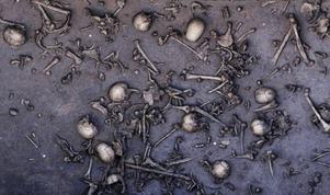 Slaget var mycket blodigt. På sina håll låg de döda tätt intill varandra. På ett tolv kvadratmeter stort område hittade arkeologerna 1478 ben inklusive 20 kranier. Antagligen var flera tusen krigare involverade i bataljen.   Foto: C. Hartl-Reiter, Landesamt für Kultur und Denkmalpflege Mecklenburg-Vorpommern/TT