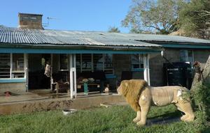 Det blonda lejonet Fabio är numera pensionerat och bor med mig i lejonhuset. På sidorna syns stora revor orsakade av riktiga lejon.