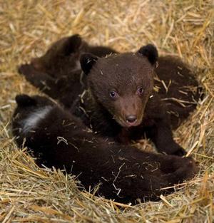 En av de tre odöpta björnungarna på Skansen vaknade till i idets sänghalm i går när de visades upp för pressen.