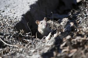 Råttan på bilden har inget med situationen i Älvros att göra.
