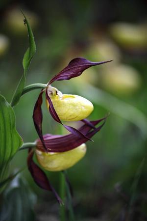 Guckuskon har en ståtlig och lite svulstig blomma.