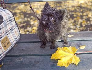 Marginellt större än ett höstlöv är hon, och troligen Sveriges minsta hund.