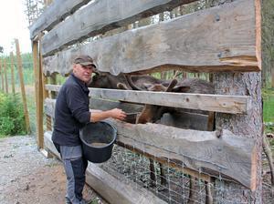 Lars Arkesjö driver Älgparken i Ockelbo och värnar om sina älgar.