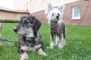 Taxblandrasen Tequila och kinesiska nakenhunden Pontus Myser på gräsmattan i solen!