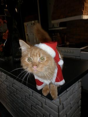 I år är det våran katt Tarzan på 6 mån som vill vara tomte!
