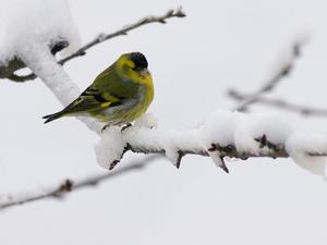 Grönsiska: (Cardue´lis spi´nus) Art i fågelfamiljen finkar. Den blir 11,5–12,5 centimeter lång, är grön på ovansidan med fina mörka streck och gul undertill; honan är svagare färgad och kraftigare streckad. Hanen har också svart hjässa och haka. Arten livnär sig av frön, framför allt av al och björk, och en del insekter. Den häckar i högstammig granskog, i Sverige norrut till södra Lappland, och samlas utom häckningstiden i stora, täta flockar som drar söderut i landet eller till kontinenten.