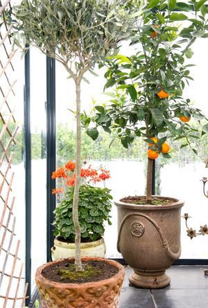 Bosse har apelsinträd i växthuset.