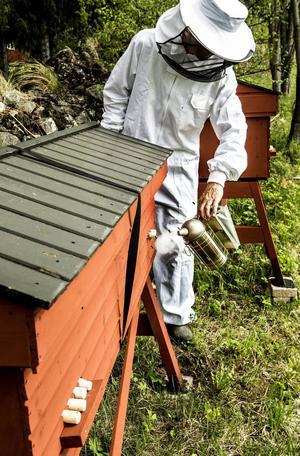 För att lugna bina innan man går in i kupan används rök. Den här kommer sig av kolande hästavföring.    – Det är viktigt att röken inte är för varm och att man inte använder mer än nödvändigt, förklarar Pedro.