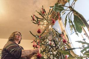 Efter jul kommer Birgitta Hedlund att kapa toppen på kaktusen och försöka återplantera den i en egen kruka.