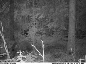 Den åtelkamera som Länsstyrelsen placerade intill gården i Karlsberg fångade björnen på bild.
