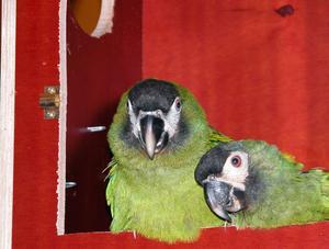 Oroliga föräldrar. Herr och fru papegoja väntar på att få tillbaka sina ungar.