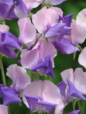 'Erewhon' har en helt ny färgkombination för luktärt, ljusrosa och blått. Foto: Rara växter