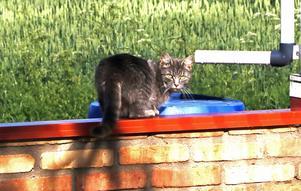 Grannens katter gör gärna en lov till vattentunnorna när de blir törstiga. Vattnet samlas upp från växthuset när det regnar via hängrännor och stuprör.