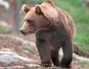 En björn har synts till i Fagerstatrakten. Men det är inte björnen på bilden.