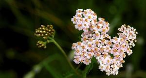 Röllekans vita blommor fungerar bra när man vill undvika att bli biten av myggen.