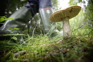 Många ger sig ut i skogen med bristande kunskap om svamp.