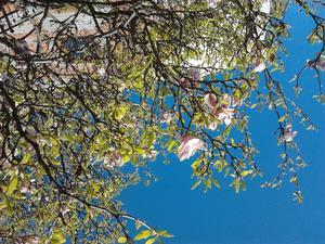 Var i Norrköping i helgen och fick syn på detta vckra magnoliaträd.