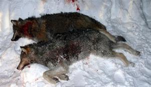 Den mörka vargen är hanen vikt 36 kg och den ljusa honan 22 kg.