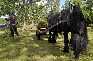Hölass. Nordsvensken Jorm tar hand om gräset på sitt sätt. Han står lugnt still och tuggar medan Ann-Sofie Persson lastar.