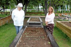 """Vandaliserat. Någon har – med ganska stor skostorlek som utesluter """"pojkstreck"""" – trampat och förstört odlingar på området. Gudrun Olofsson och Madeleine Söderqvist har tröttnat på den meningslösa förstörelsen."""