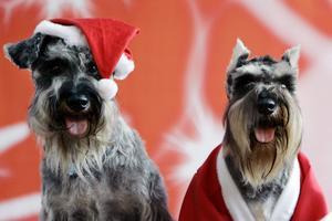 Många hundar drabbas av förgiftning under julhelgen. Farligast är mörk choklad.