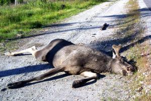 Älgtjuren dog på stället, vid södra infarten till Årskogen. Flera älgolyckor har tidigare inträffat på samma plats.