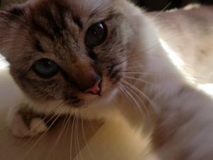 Min storasysters katt Ella (helig birma). Hon lekte med kamerabandet och då tog jag den här söta bilden när hon försöker få tag i det!