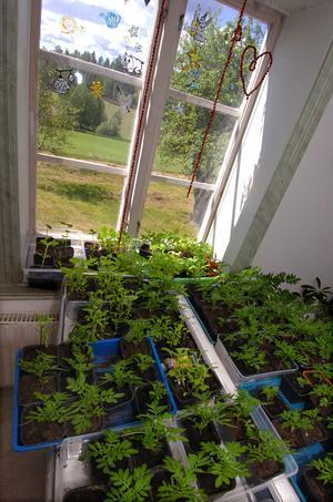 Växter som ska planteras ut.