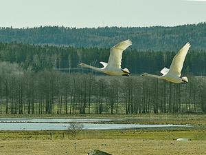 Bilden tagen vid sjön Tysslingen i Närke. Här rastar mängder av svanar varje vårpå sin långa resa mot Nordkalotten. I bakgrunden dom blånade Kilsbergen.