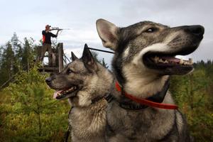 Från vänster, Rikko 12 år och Ilka 3 år är två vitala delar för en lyckad jakt. I bakgrunden Martin Jonsson.