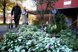 """PARADISTRÄD. Gunnar Zetterberg har iordningställt en plantering utanför porten på Tordönsgatan där han bor med hustrun Sonja. """"Barnen i området hjälper mig att plantera, sätta och så, och boende kommer överallt ifrån för att skänka plantor och lökar"""", berättar Gunnar. I mitten prunkar ett paradisäppelträd."""
