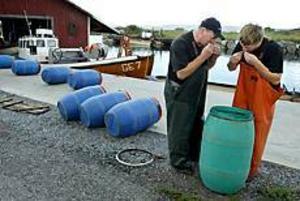 Foto: LEIF JÄDERBERG Provsmak. I flera veckor har fiskarna Jan Wahlström och Bernt Bergström ätit mellan 15 och 20 surströmmingar per dag direkt ur tunnorna. - Vi försöker göra den så mild som möjligt, den ska inte bli frän i smaken, säger Jan Wahlström.