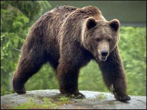 Sover nu. Trots att länsstyrelsen beviljade skyddsjakt på Österfärnebobjörnen lyckades den hålla sig undan jägarnas radar. Björnen på bilden är inte Österfärnebobjörnen.