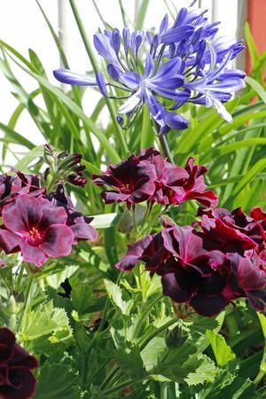 I trädgården finns bland annat den cerise engelska pelargonen Lord Bute och den blå afrikanska liljan.