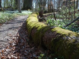 Den här stammen,full med grön fin mossa,låg bredvid en av gångstigarna på naturreservatet Åholmen. Hela platsen är ett fint ekosystem,där det mesta får ligga kvar på marken och så småningom försvinna i grönskan.