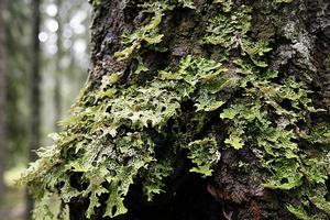 Lunglaven är en hotad art, men växer i det som ska bli Finnbrännabäckens naturreservat.